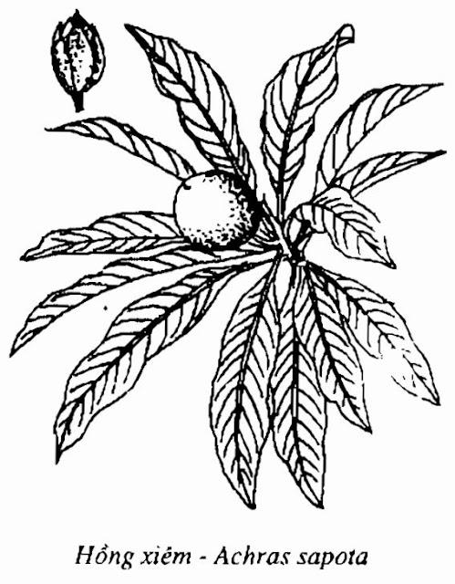 Hình vẽ HỒNG XIÊM - Achras sapota - Nguyên liệu làm thuốc Chữa Ho Hen