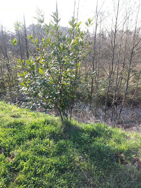 arbusto de laurel
