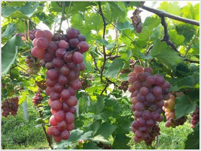 Anggur Prabu.;10 Top Kuliner Probolinggo