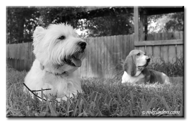 Westie and Basset in yard