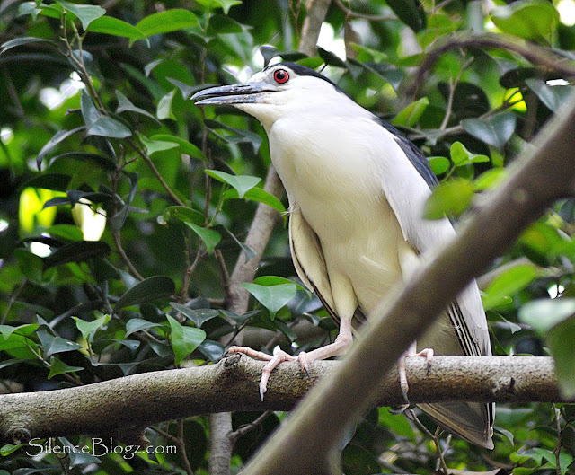 Black-crowned Night Heron - birding activity kuala Kubu baharu