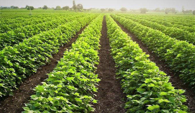 वैज्ञानिक कृषि पद्धतियां अपनाने से बढ़ेगी भारतीय कपास किसान की वैश्विक मांग