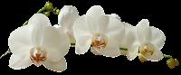 Orquídea branca png