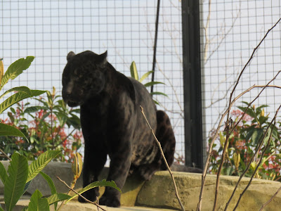 Black Jaguar at Paris Zoo