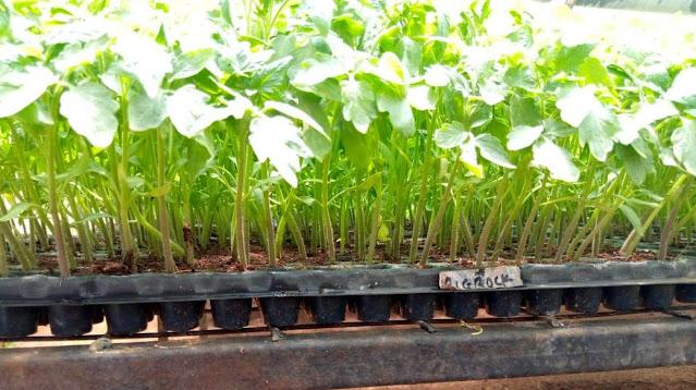 tomato seedlings for sale
