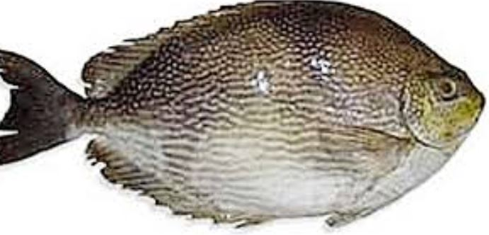 Jenis Ikan Air Laut Konsumsi Aneka Ikan Hias