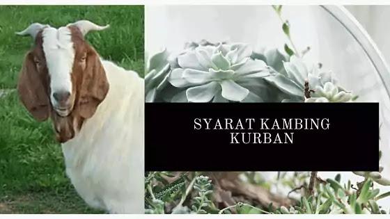syarat kambing kurban idul adha