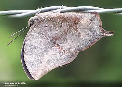 Mariposa azulina (Memphis moruus)