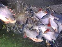 Ingin Budidaya dan Pemeliharaan Ikan Bawal? Begini Cara Jitunya!
