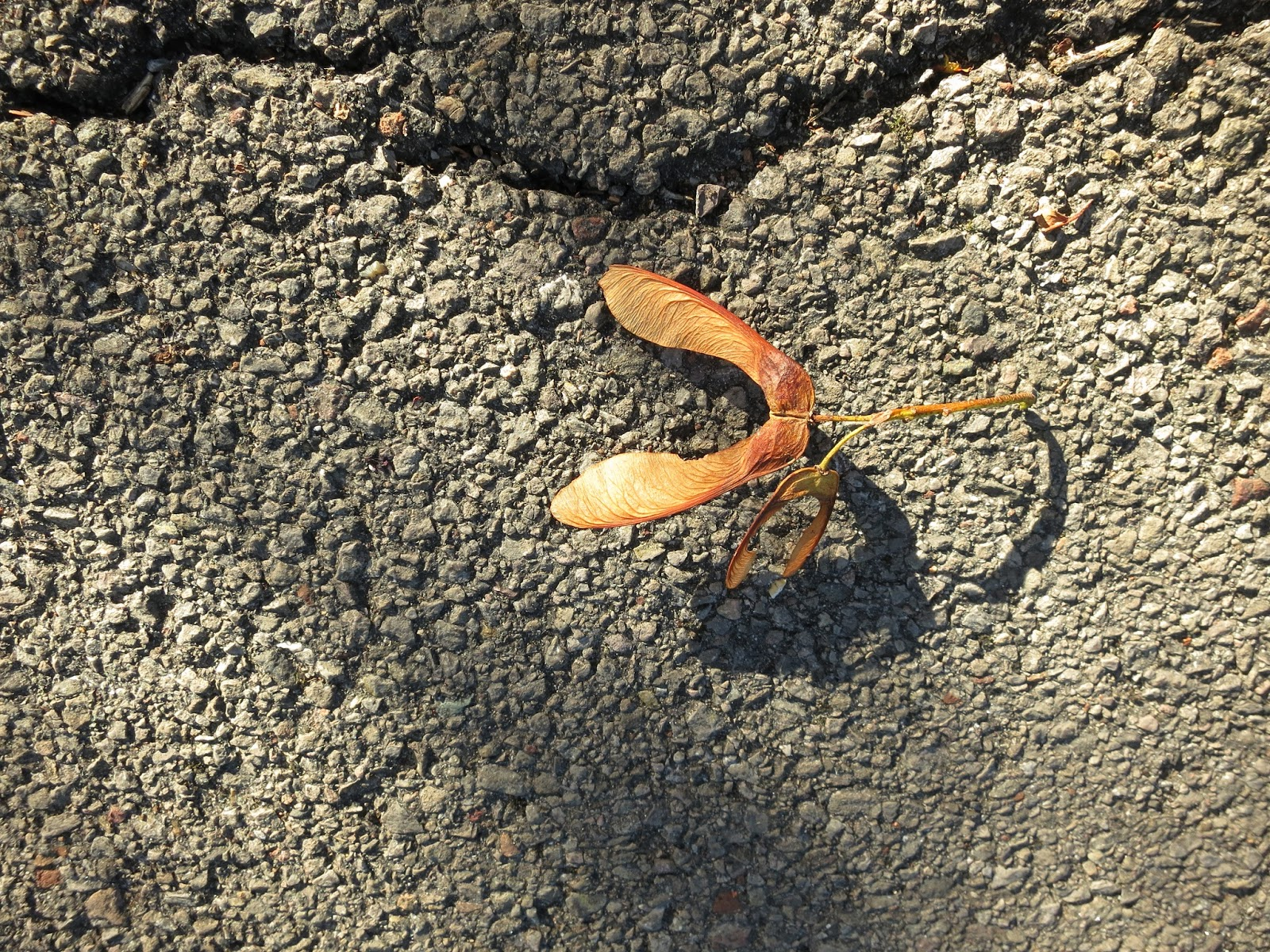Sycamore seed and its shadow on a tarmac path