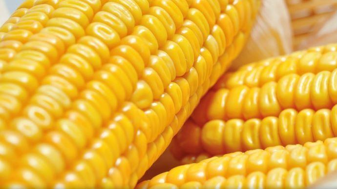 Traitement post récolte des semences de maïs