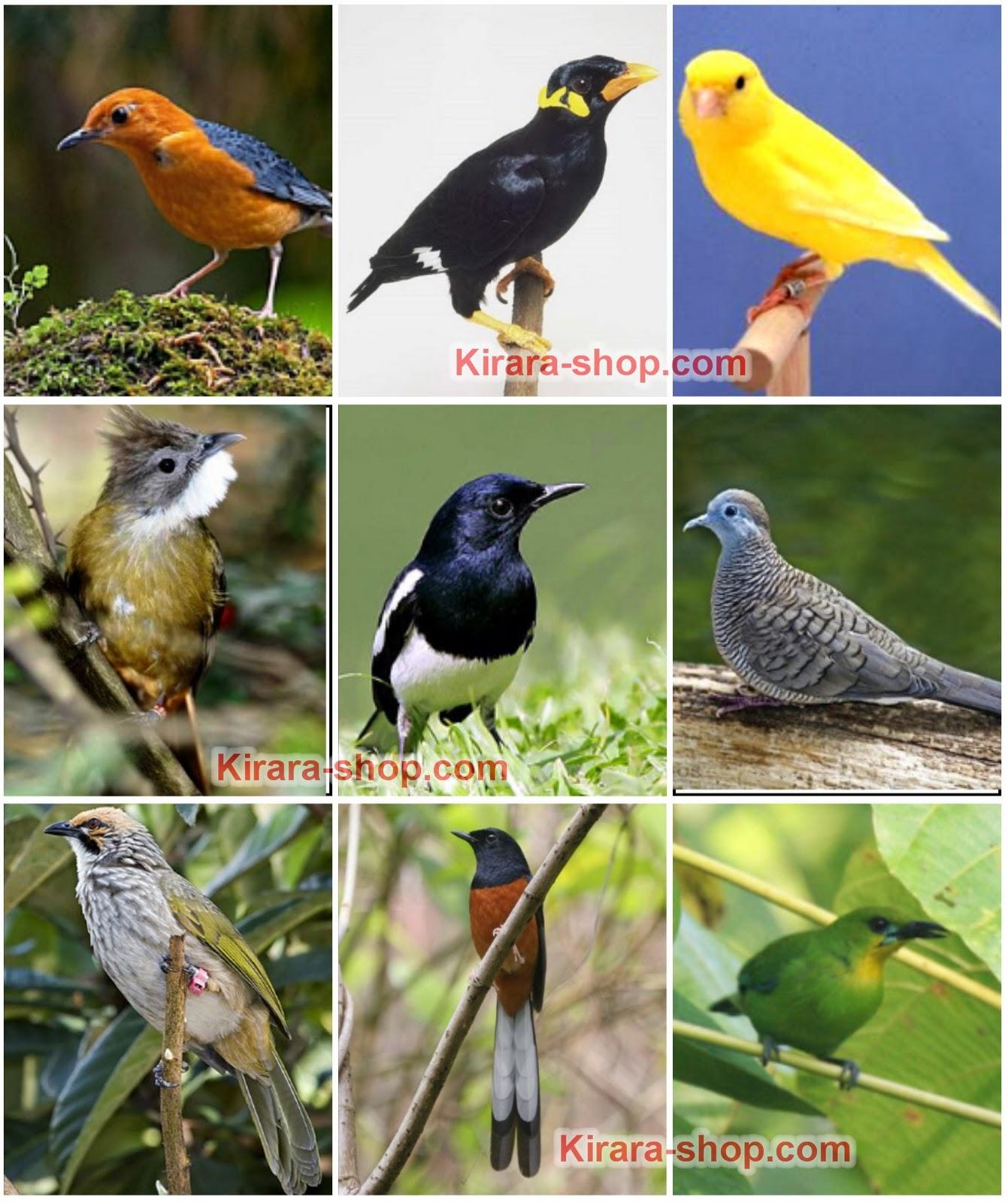 Sedikit Tentang 666: Ragam Burung Dan Jual Beli: Ragam Burung Yang Tenar Di