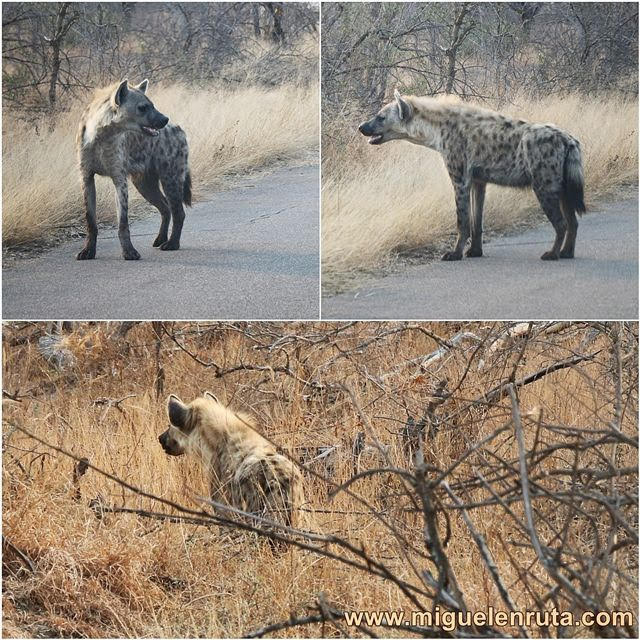 Hienas-Kruger-Sudáfrica
