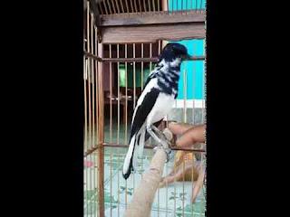 Burung Kacer : Sumatra (dan Suppseciesnya), Jawa dan, Madagaskar (dan Suppseciesnya) - Mengetahui Ciri-Ciri Burung Kacer
