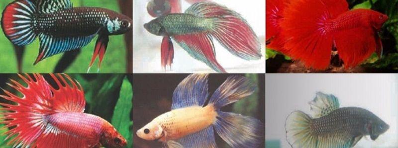 Image Exotic Betta Fish