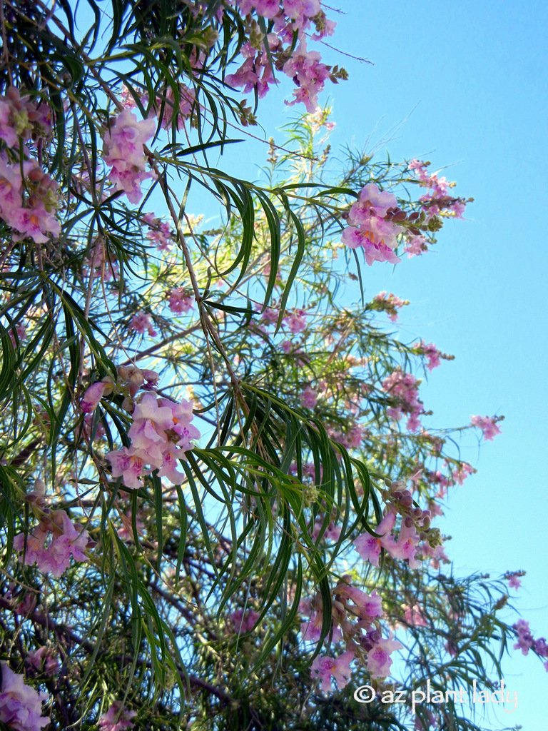 10 Beautiful Native Trees For The Southwest Ramblings From A