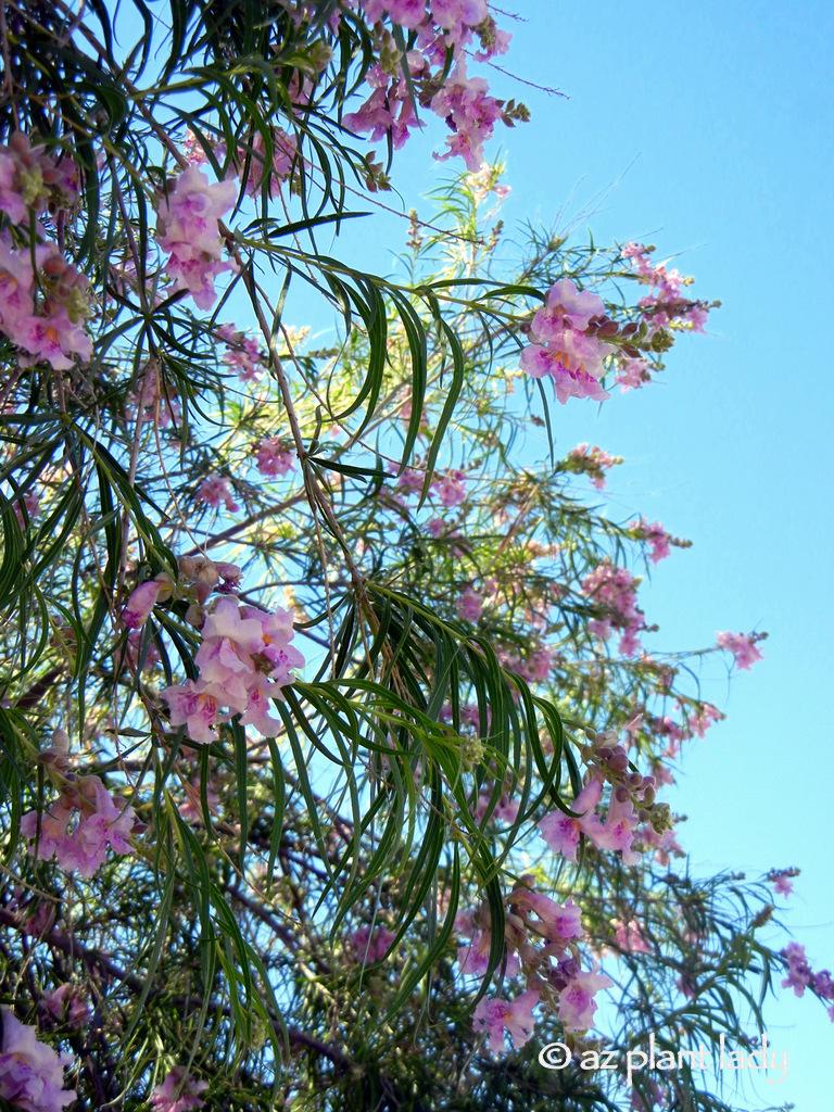Flowers online 2018 pink flowering trees in texas flowers online mightylinksfo