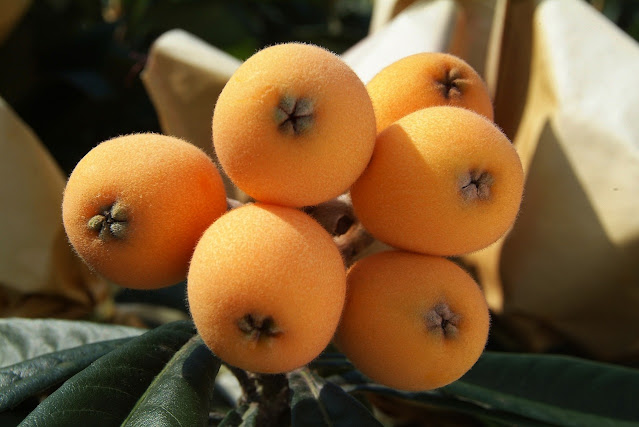 Frutos y hojas de Níspero
