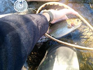 rainbow trout farmington river CT fly fishing