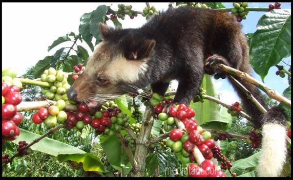 hewan luwak memakan buah kopi di pohon