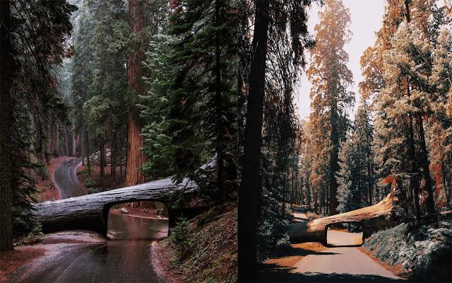 Đường hầm xuyên cây nghìn năm tuổi giữa khu rừng khổng lồ