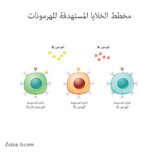 الخلايا المستهدفة للهرمونات