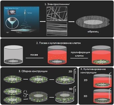 Создание 2D- и 3D-окружения для культивирования мезенхимальных стволовых клеток и их дифференцировки в хрящ для тканевой инженерии
