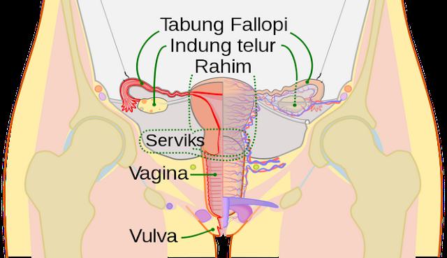 organ reproduksi wanita dan fungsinya