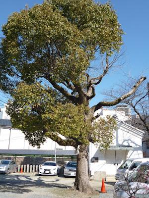 富島神社ご神木