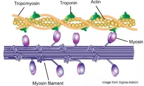 Perbedaan Aktin dan Miosin-1