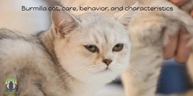 Burmilla cat, care, behavior, and characteristics