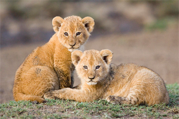 image of two lion cubs