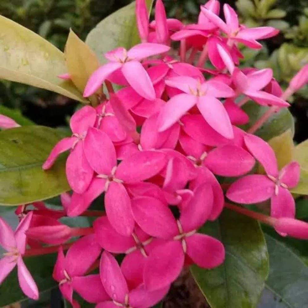 tanaman hias asoka violet bunga pink asoka daun besar Prabumulih