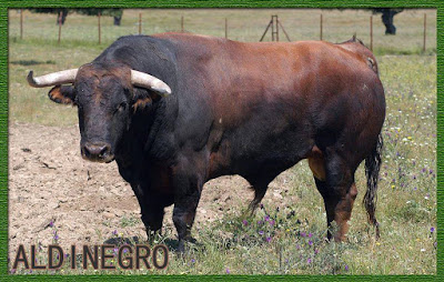 Diferentes razas de toros - Página 3 10007232_795826700534767_7347972019072831601_n