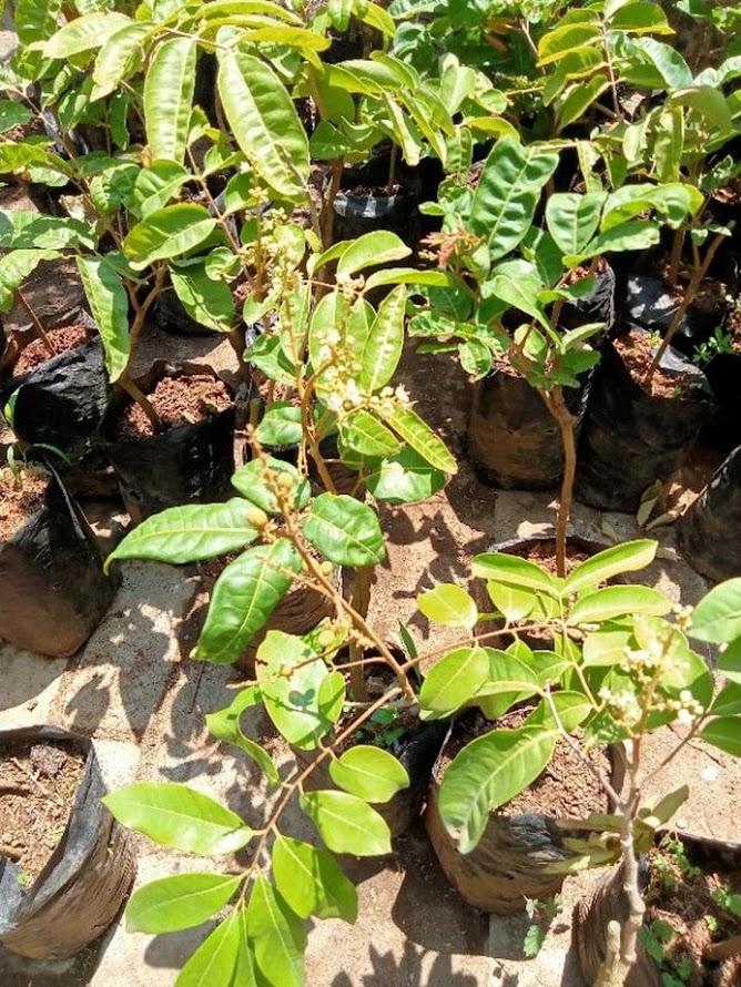 Bibit Tanaman Kelengkeng Aroma Durian Kondisi Berbunga Termurah Jawa Barat