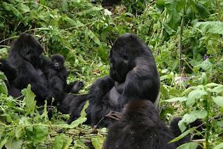 Gorillas in uganda during gorilla tracking tour in Bwindi Impenetrable National Park