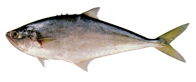Guaivira (Oligoplites saurus)