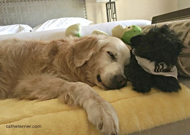 Little Oz naps with Sugar Golden Woofs at BlogPaws