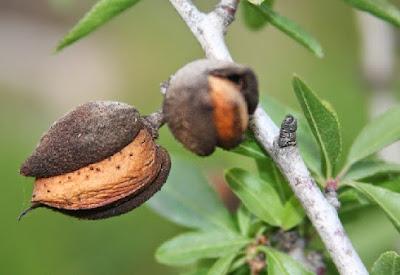 صور اشجار اللوز الحلو