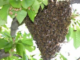 essaim d'abeilles accroché dans un arbre