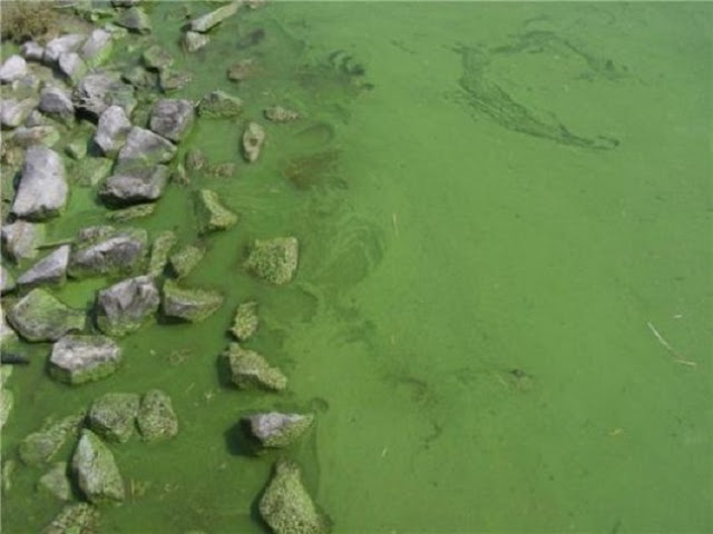 Toxic blue-green algae adapt to rising CO2