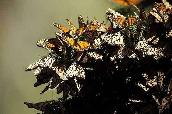 monarch-butterfly-migration-هجرة-فراشة-مونارك