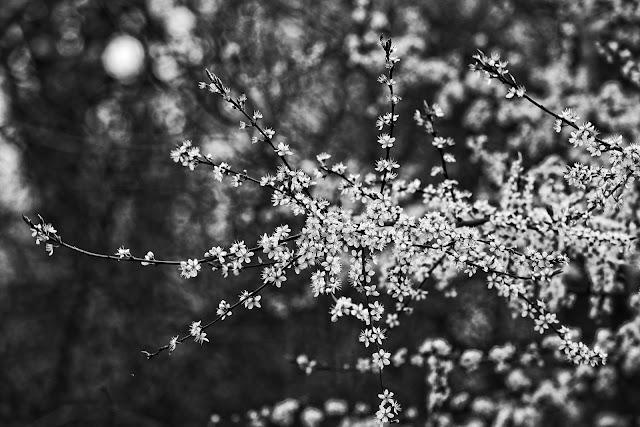 Bunga sakura hitam putih