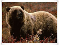 Grizzly Bear Animal Pictures