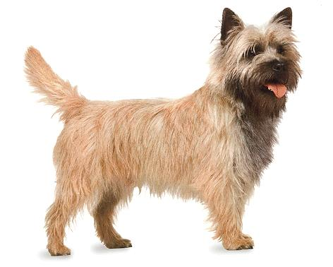 Everything about your Cairn terrier - LUV My dogs