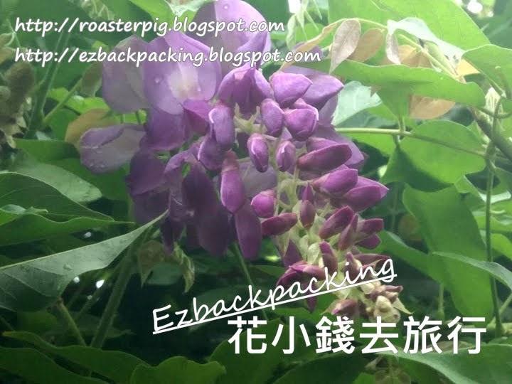 鑽石山紫藤花2021