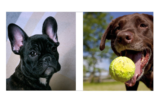 The lifespan and health of French Bulldogs and Labrador Retrievers (both pictured)