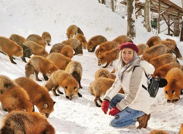 The village has hundreds of fat, lazy foxes in Japan