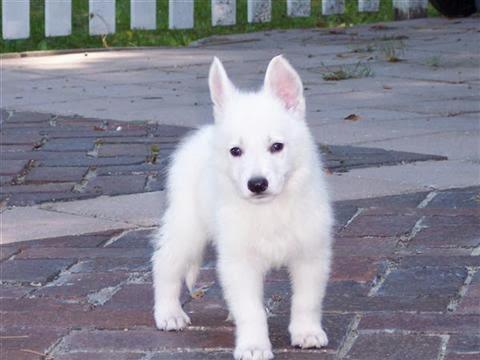 Are Cute White German Shepherd Puppies Pedigreed?   Pet ...