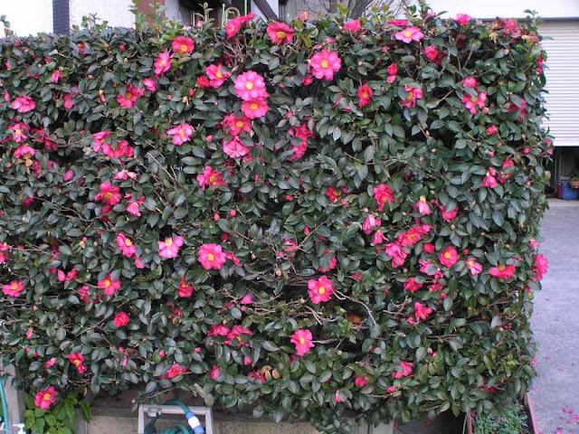 Sở - Camellia sasanqua - Nguyên liệu làm thuốc Có Chất Độc